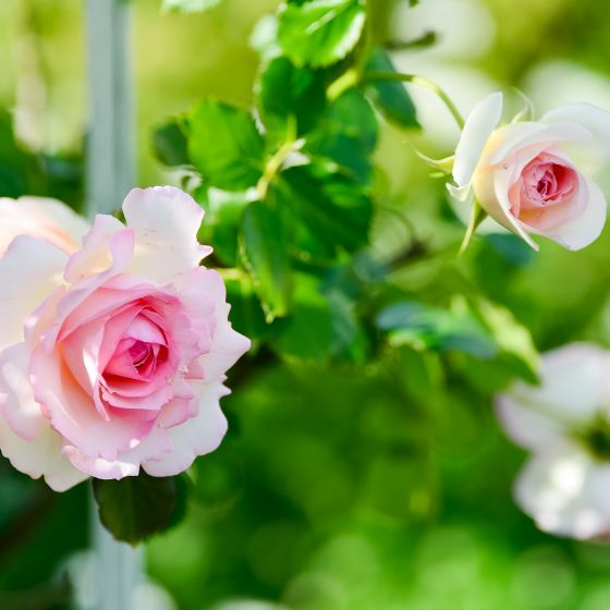 Pink-rosa Rosenblüten