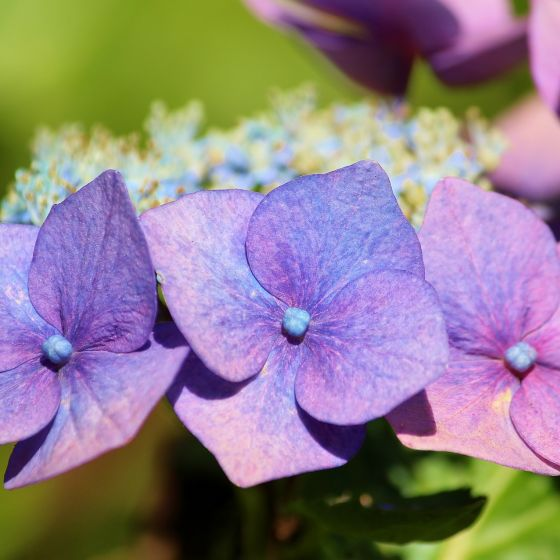 Hortensienblüte blau