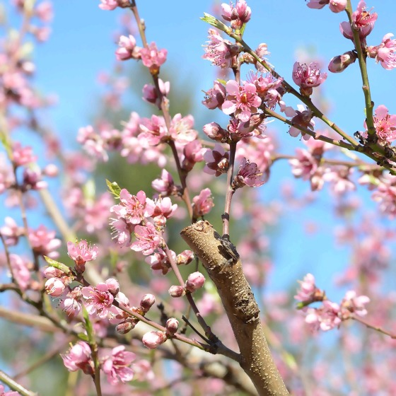Obstbaum in Blüte