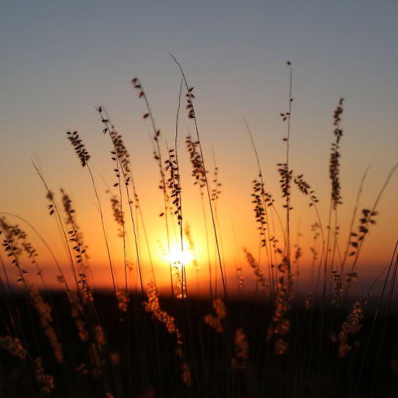 Gräser im Sonnenuntergang