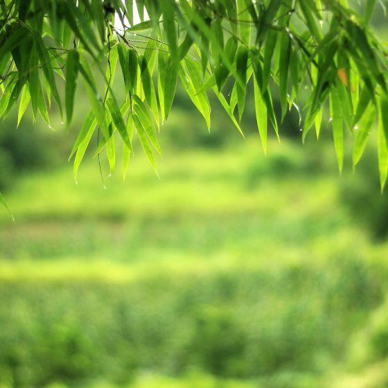 Bambus Header