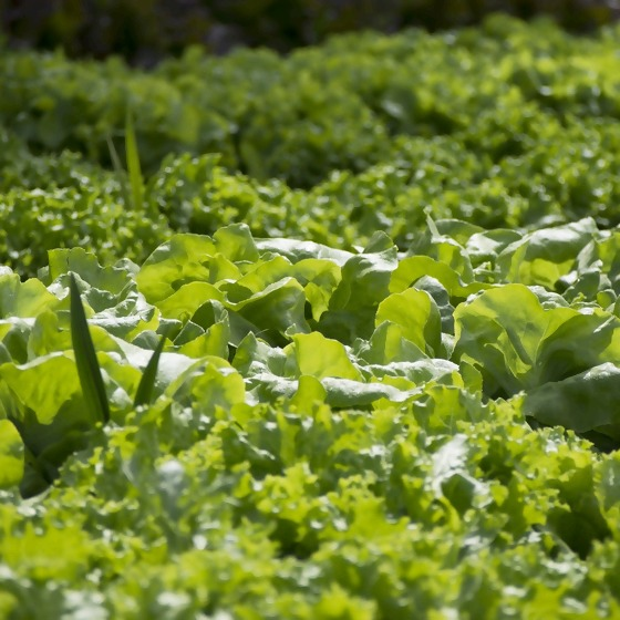 Salate im Beet