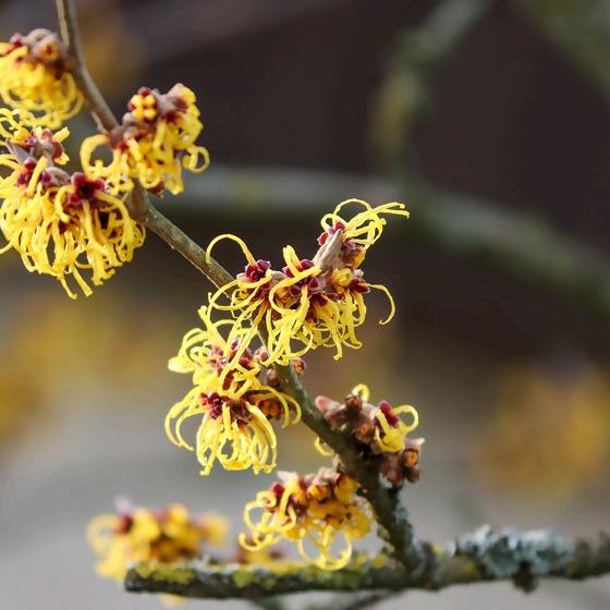 Zaubernuss Blüte
