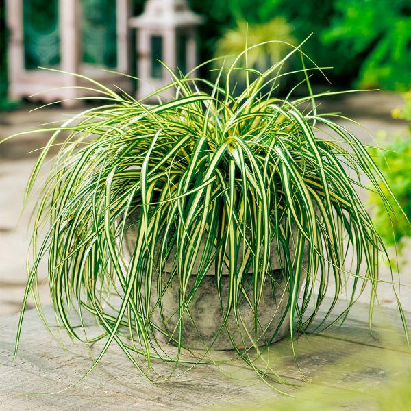 Segge Evergold Carex