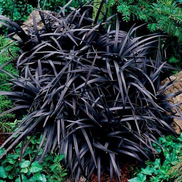 Schwarzer Schlangenbart Ophiopogon
