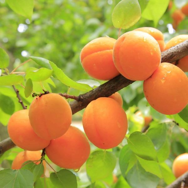 Aprikosenbaum-Ratgeber