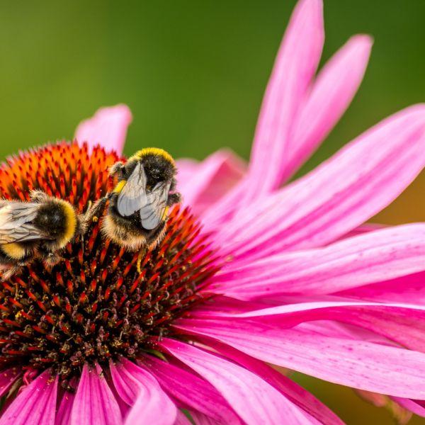 So wird Ihr Balkon zum Insektenparadies