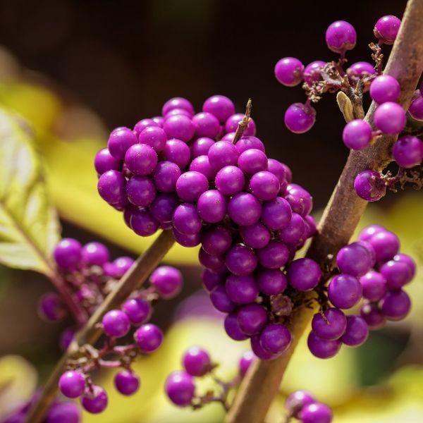 Schönfrucht Callicarpa