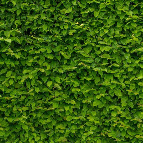 intense-green-wallpaper-with-hornbeam-1407727_1920.jpg