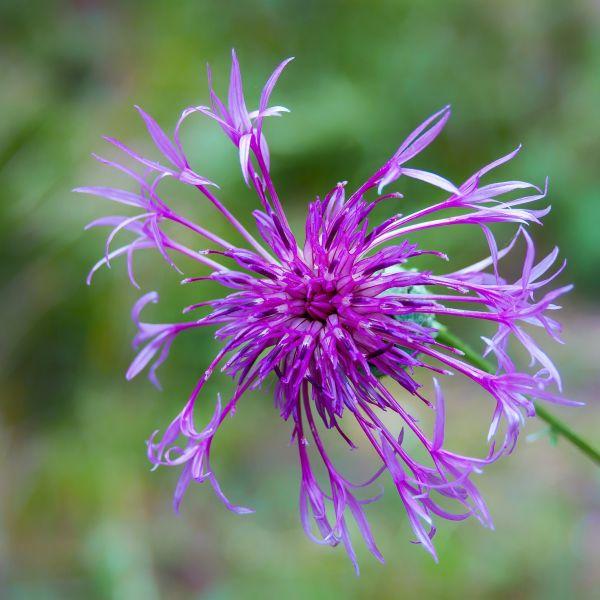 Flockenblume Centaurea
