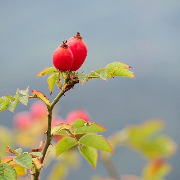 Wildrose Hagebutten