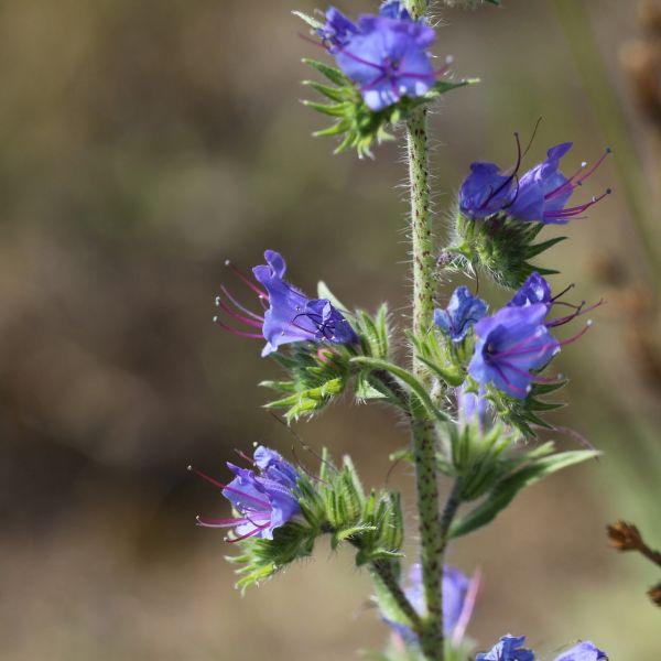 Blauer Natternkopf Echium vulgare