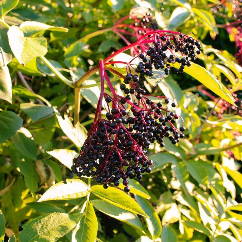 black-elderberry-5471261_1920%281%29.jpg