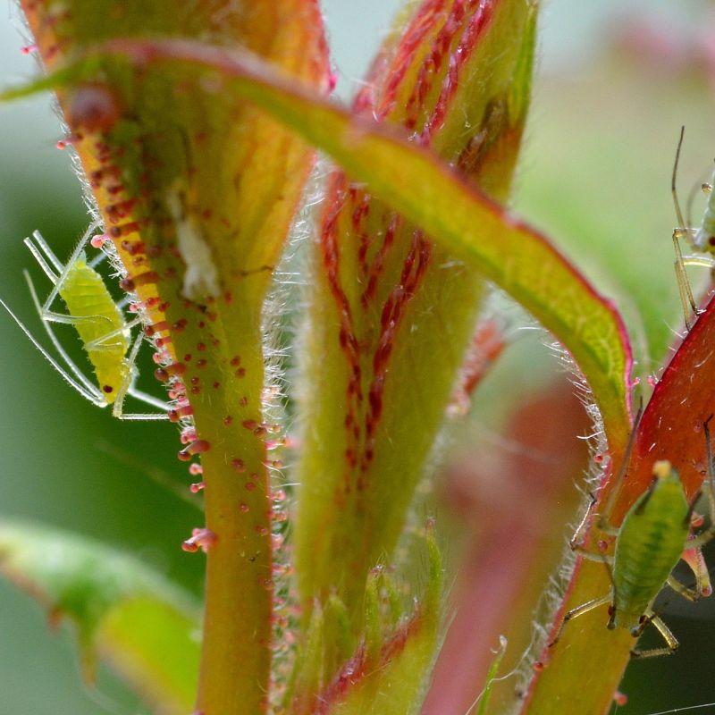 large-rose-aphids-1452145_1920.jpg