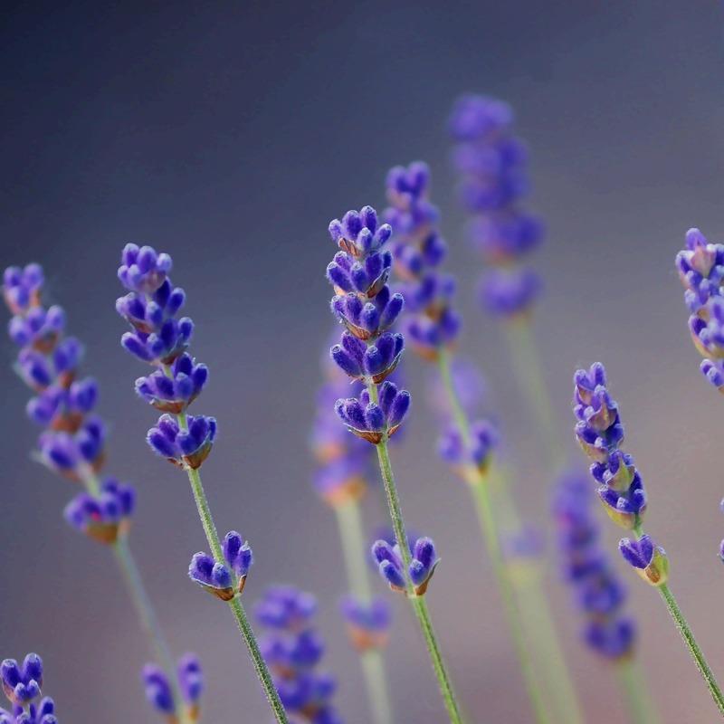 lavender-5235395_1920_2.jpg