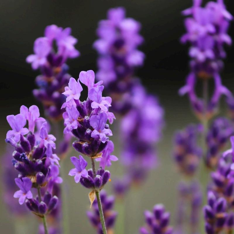 lavender-5302722_1920_1.jpg