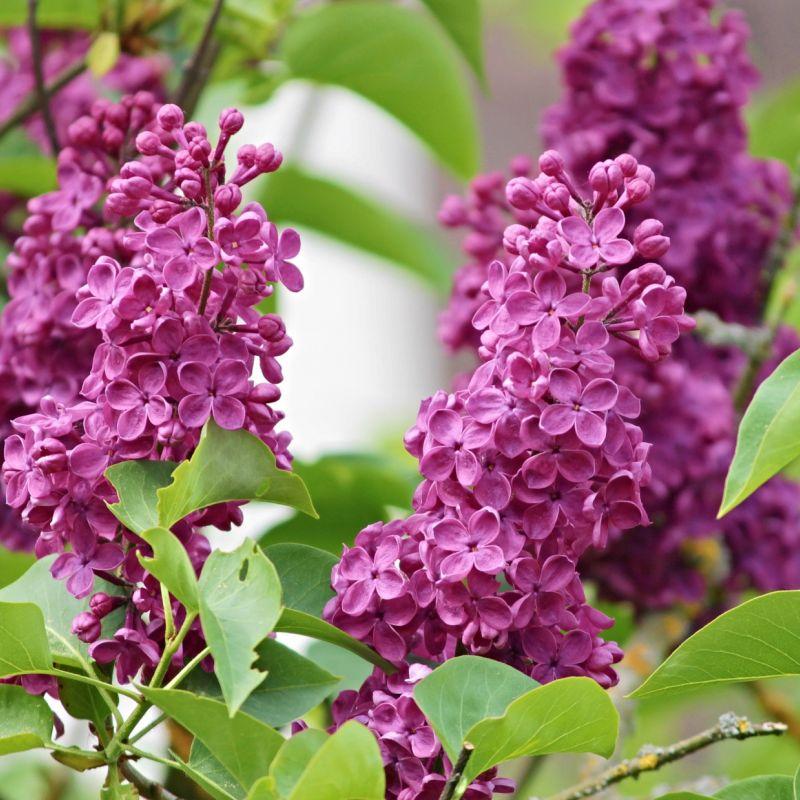 lilac-3394410_1920.jpg
