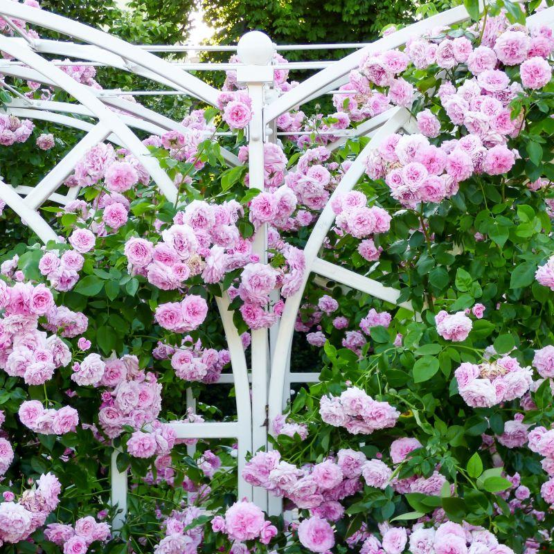 rose-2370084_1920.jpg