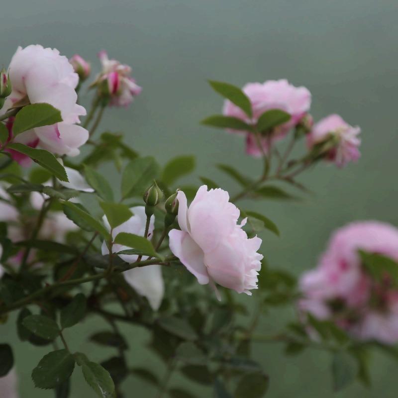 rose-3370141_1920_1.jpg