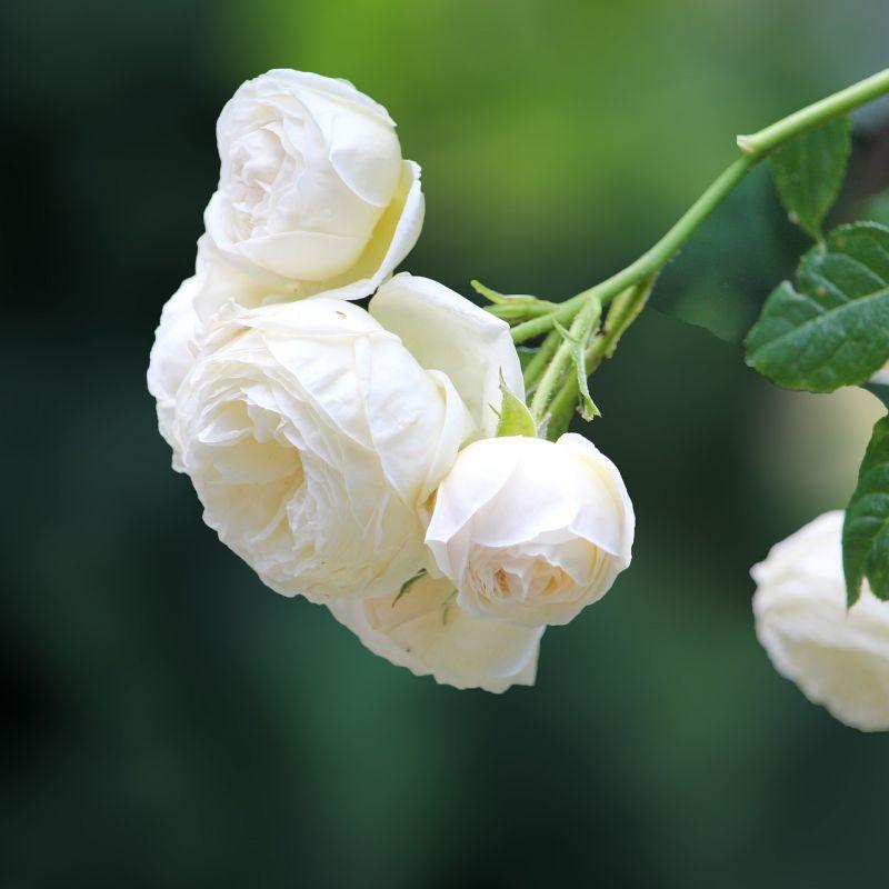 rose-4280134_1920.jpg