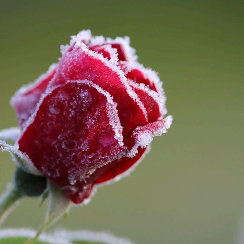 rose-5657616_1920_1.jpg