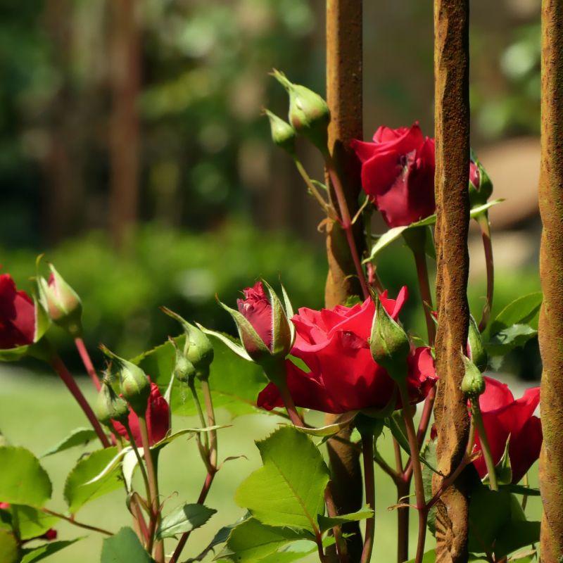 roses-3436196_1920.jpg