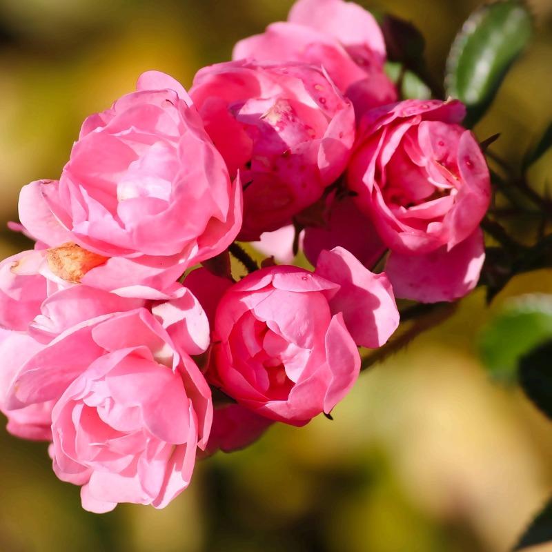 roses-3813668_1920_1.jpg