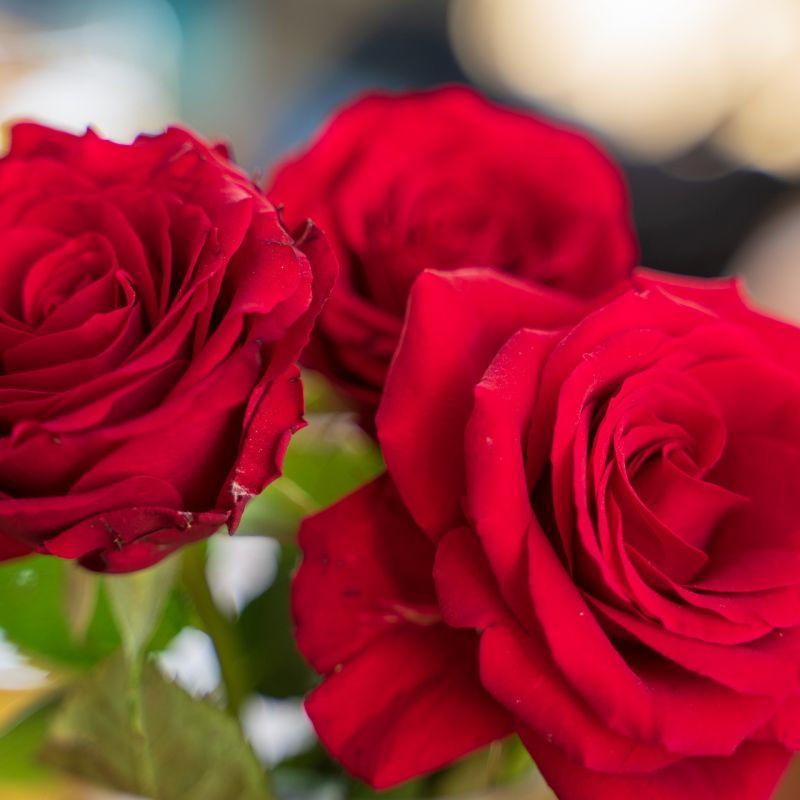 roses-4144412_1920.jpg