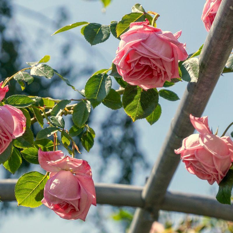 roses-4297463_1920.jpg
