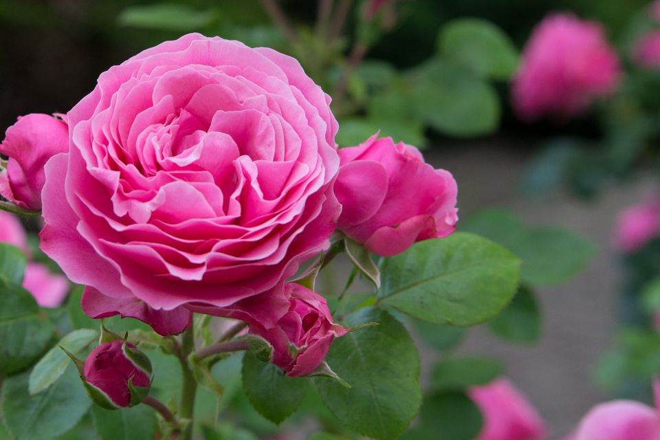 Englische+Rose.jpg