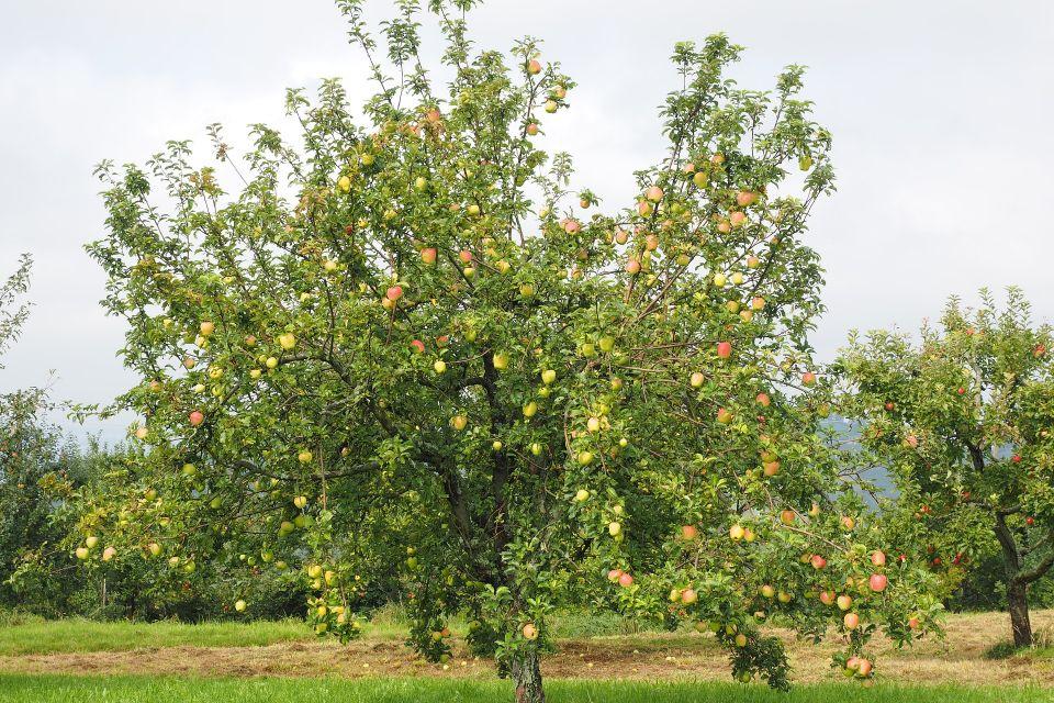 apple-tree-694201_1920.jpg