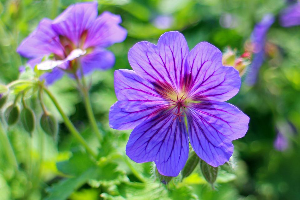 blue-geranium-362123_1920.jpg