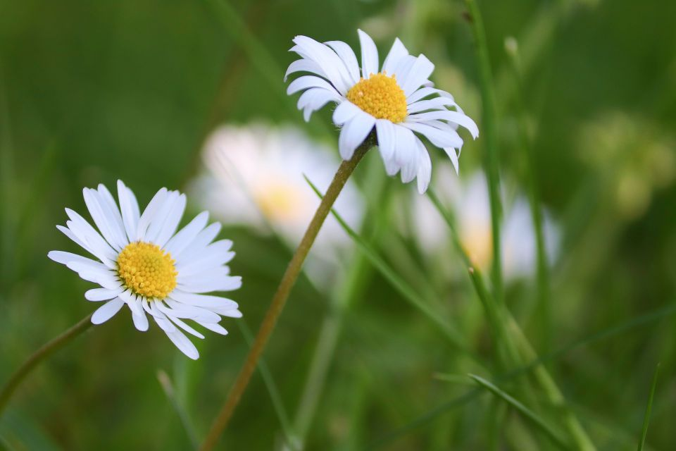 daisies-5909140_1920.jpg