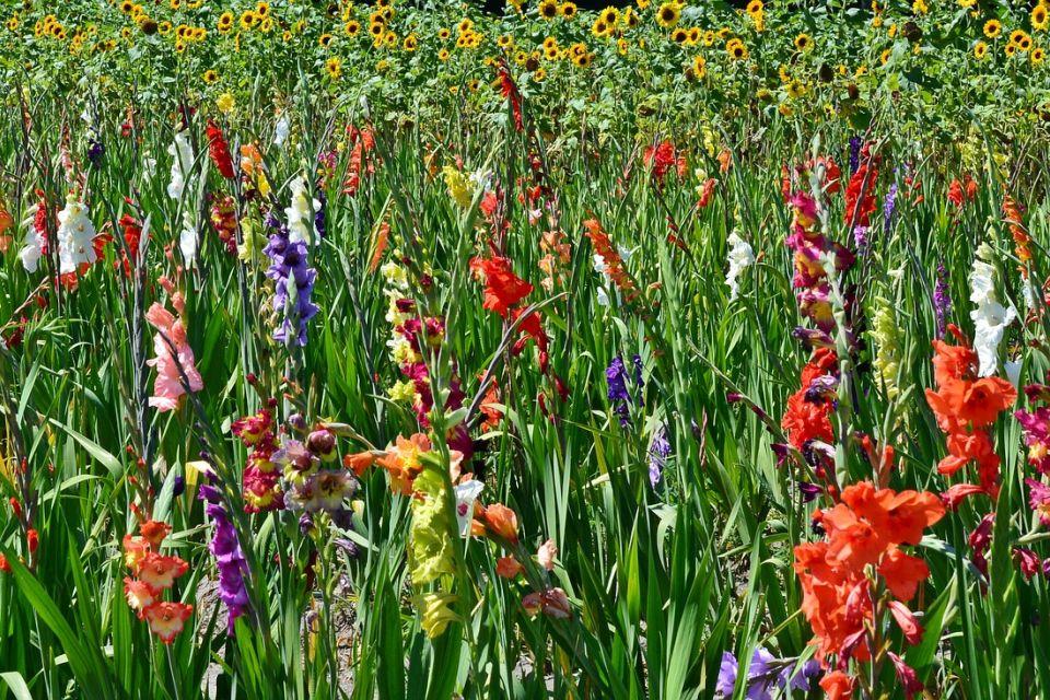 gladiolus-1530422_1920.jpg