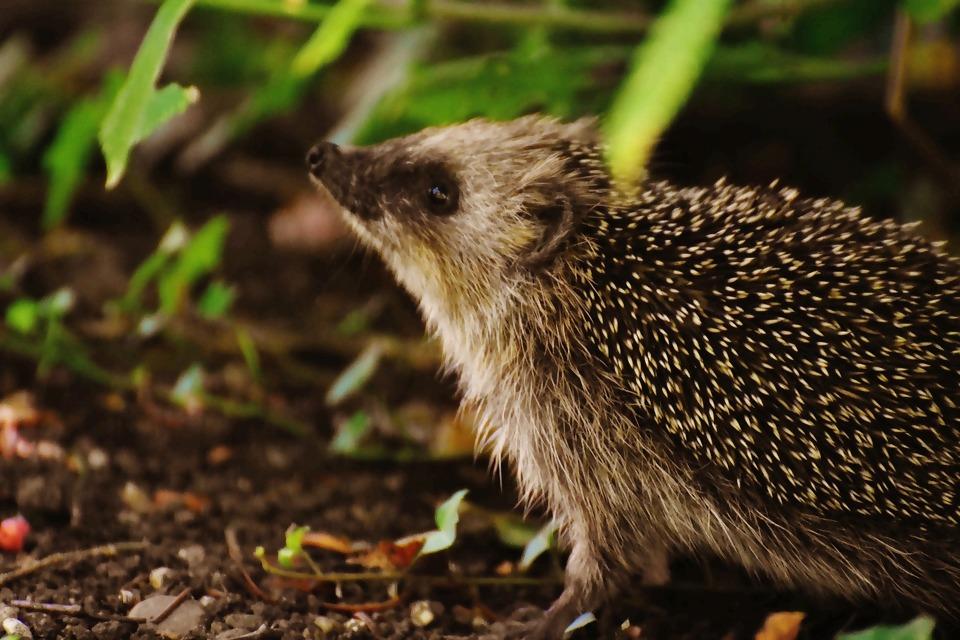 hedgehog-child-1696316_1920.jpg