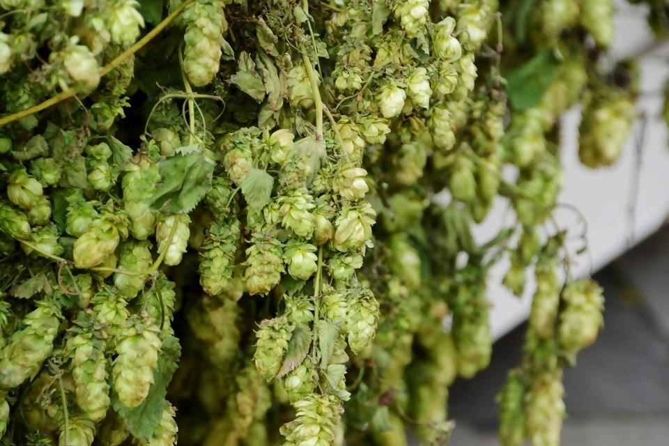 hops-3793339_1920.jpg