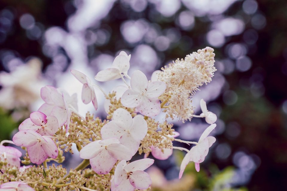 hydrangea-4432521_1920.jpg