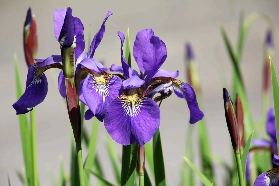 iris-1420047_1920.jpg
