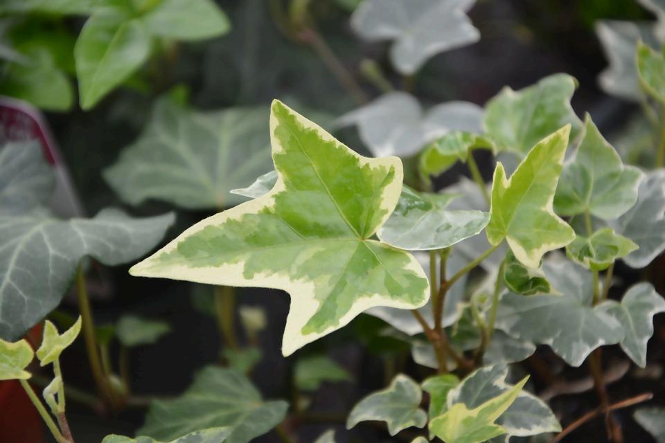 ivy-leaf-3244801_1920.jpg