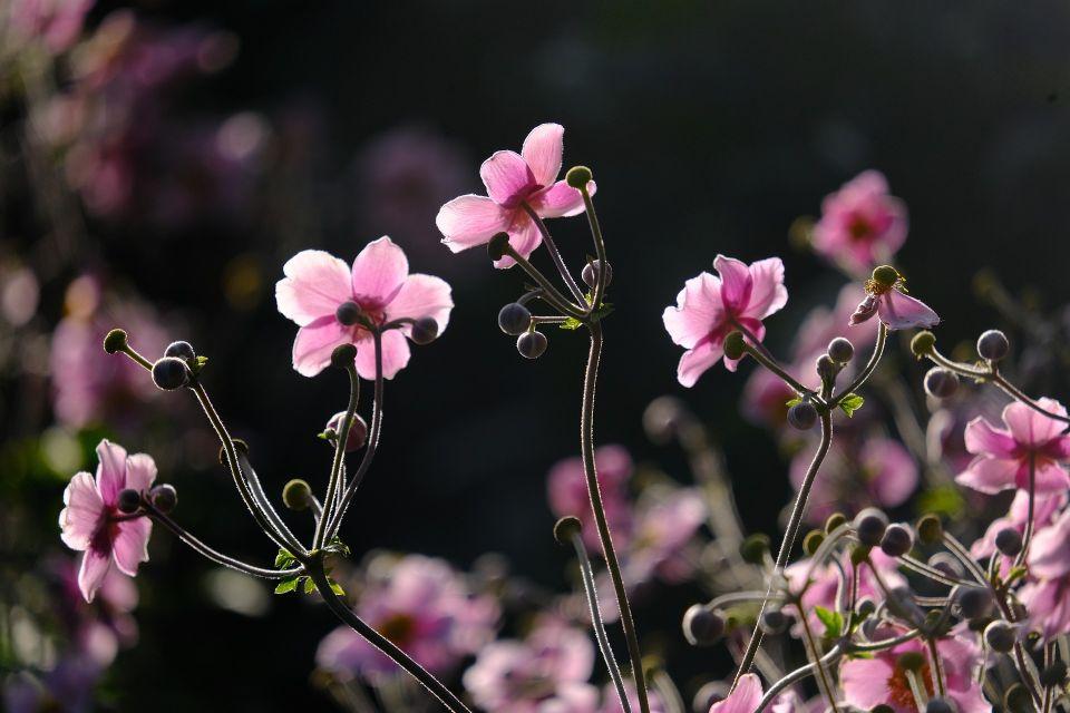 japanese-anemones-5539903_1920.jpg