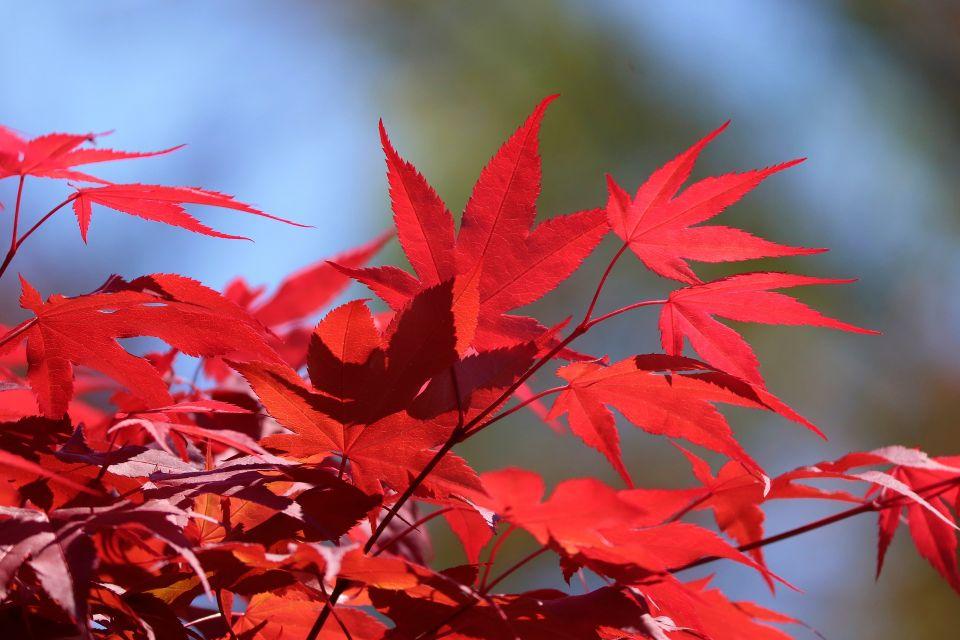 japanese-maple-5113613_1920.jpg