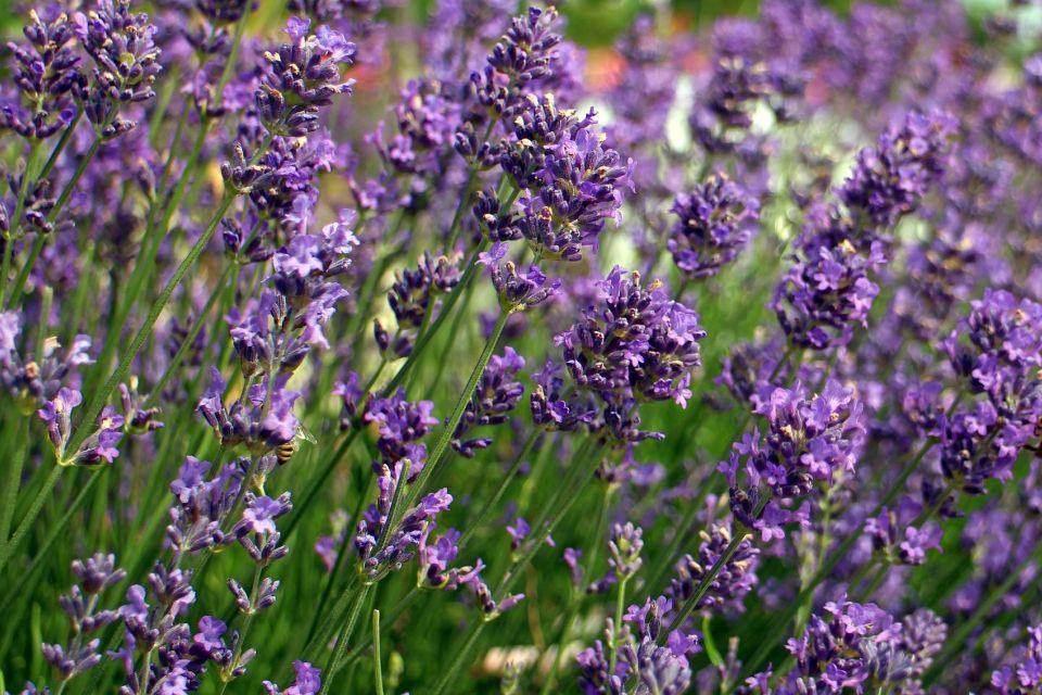 lavender-373826_1920.jpg