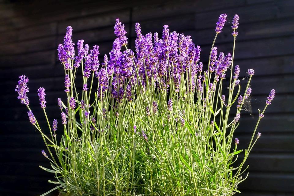 lavender-4320250_1920.jpg
