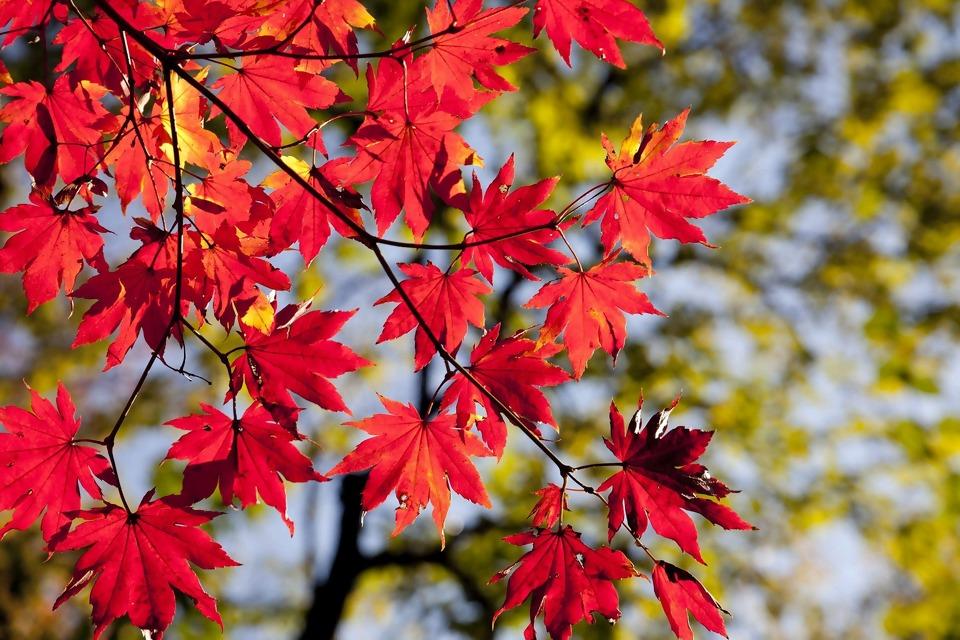 maple-leaves-2789234_1920.jpg