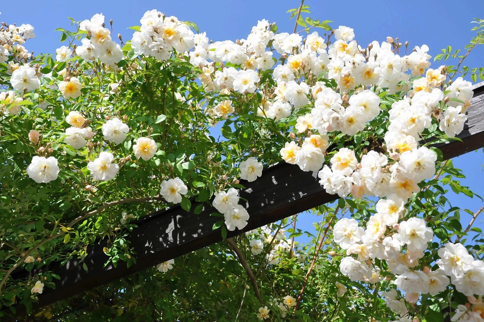 rose-2116441_1920.jpg