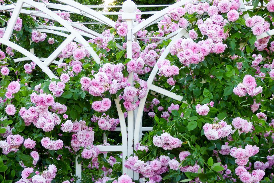 rose-2370084_1920_1.jpg
