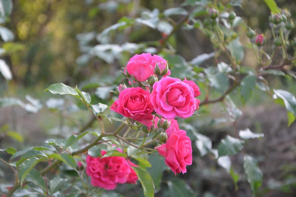 roses-2678696_1920.jpg