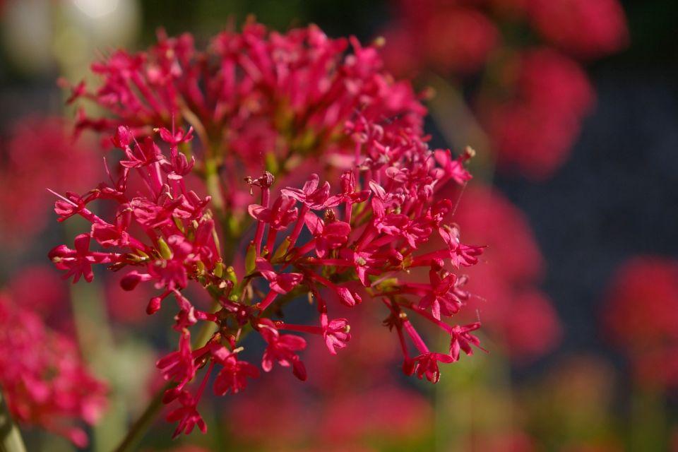 spur-flower-825649_1920.jpg
