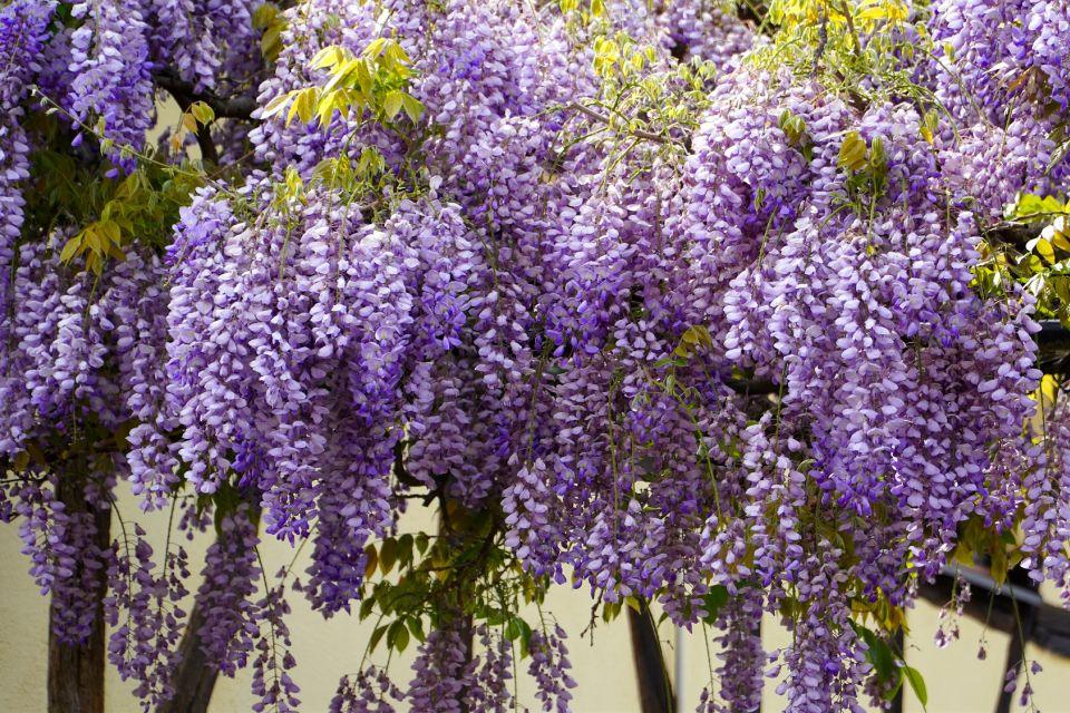 wisteria-5126106_1920.jpg