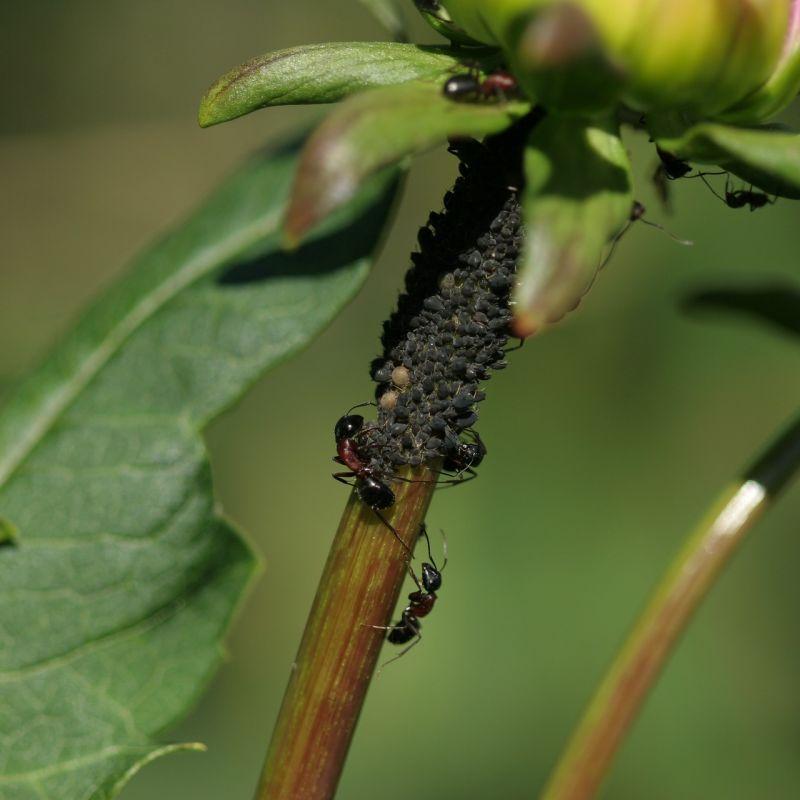 Ameisen und Läuse an Dahlien